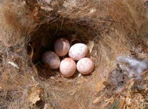 Titmouse nest with eggs. (Photo by Bet Z. Smith)