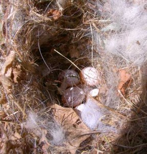 Titmouse nest with eggs - (Photo by Bet Z. Smith)