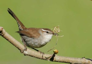 Bewicks Wren (Photo courtesy Tom Grey).