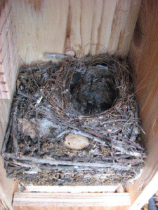 Bewick's Wren nest with eggs. (Photo courtesy Shelly Harris)
