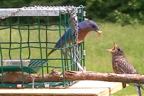 A fledgling appears at the feeder for the first time!