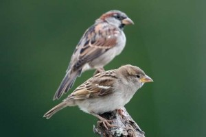 Another female House Sparrow. (Male in back) Photo courtesy Dave Kinneer.