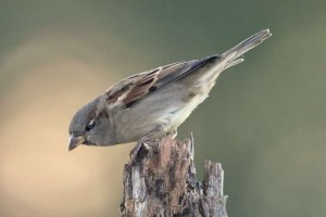 Female House Sparrow - another view. Photo courtesy Dave Kinneer.