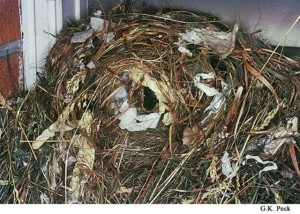 House Sparrow Nest.