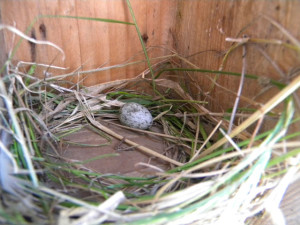 House Sparrow Egg laid in a box where a Bluebird had started a nest. Photo courtesy Evelyn Cooper.