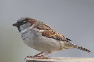 Male House Sparrow - Notice the extremely sharp tip on the beak - this beak can be deadly to a Bluebird caught in a nestbox fight with a HOSP. Photo courtesy Dave Kinneer