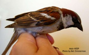 Male House Sparrow. Photo courtesy Bet Z. Smith
