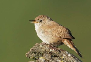 House Wren (Photo courtesy Tom Grey)