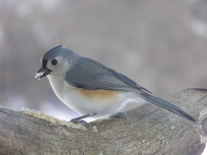 Tufted Titmouse (Photo by Cherie Layton)