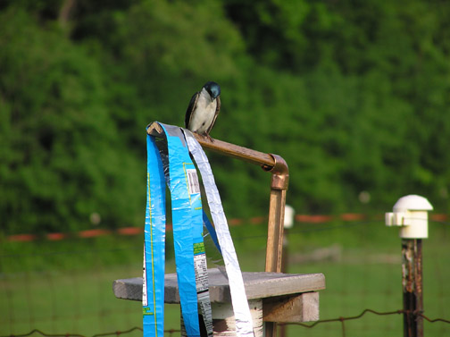 Evidence suggests that Tree Swallows will also accept Spookers.
