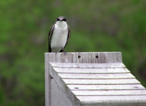 Tree Swallow on Nestbox.