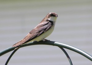 Female Tree Swallow - note the slight brownish tinge on the back feathers.