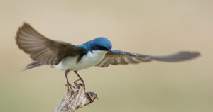 Male Tree Swallow in take-off (Photo courtesy Wendell Long).