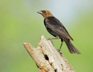 Brown-headed Cowbird male (Photo courtesy Tom Grey)