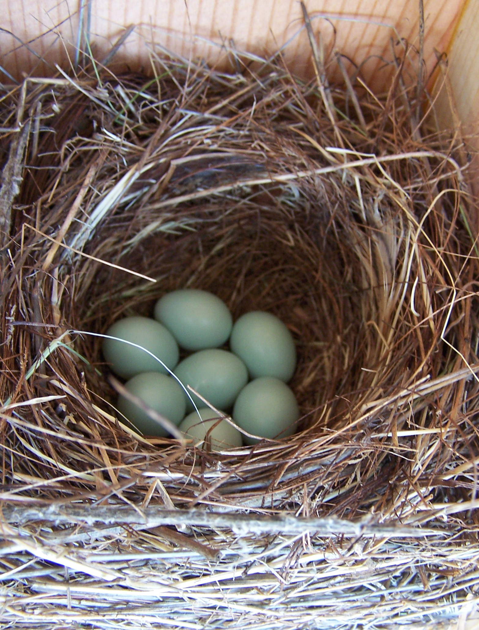 Western Bluebird nest with 7 eggs - fairly uncommon