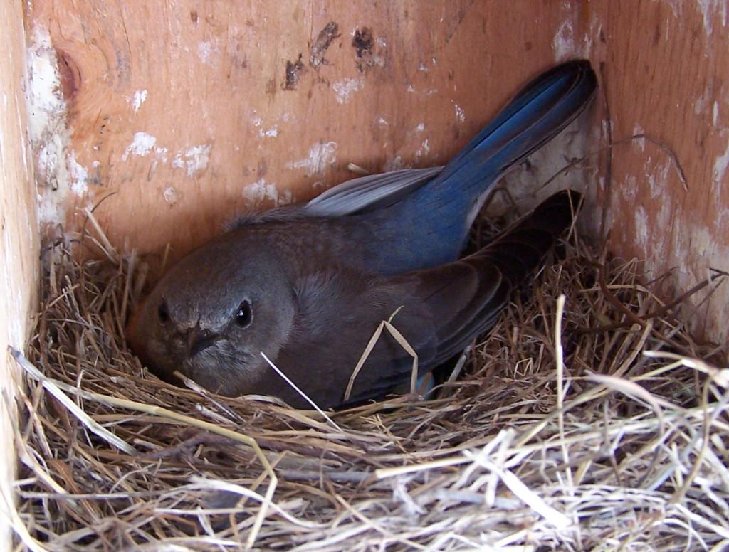 Western Bluebird female sitting on eggs