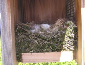 Black-capped Chickadee nest in Bluebird box (Photo Courtesy Janie Hoffman