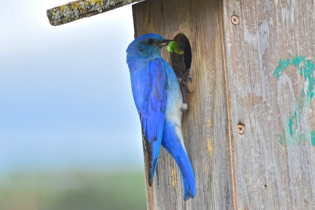Male Mountain Bluebird at nestbox