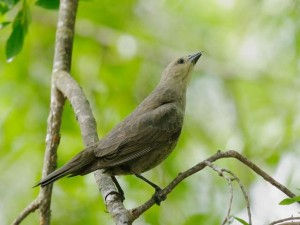 Female Brown-headed Cowbird (Photo courtesy Tom Grey)
