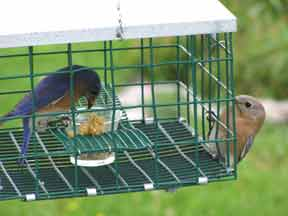 The male gathers up mealies while the female looks on. *Several openings in the mesh have been enlarged to ensure that the fattest male Eastern Bluebirds, and larger Mountain Bluebirds can use this feeder, while still excluding Starlings, Mockers, etc. Note:  You can make this modification yourself by following the simple instructions below.