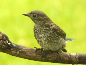The fledgling bluebird sits on a branch outside our window, looking for a handout.